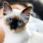 Niedliche Birma-Katze